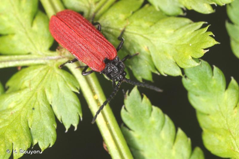 Pyropterus nigroruber