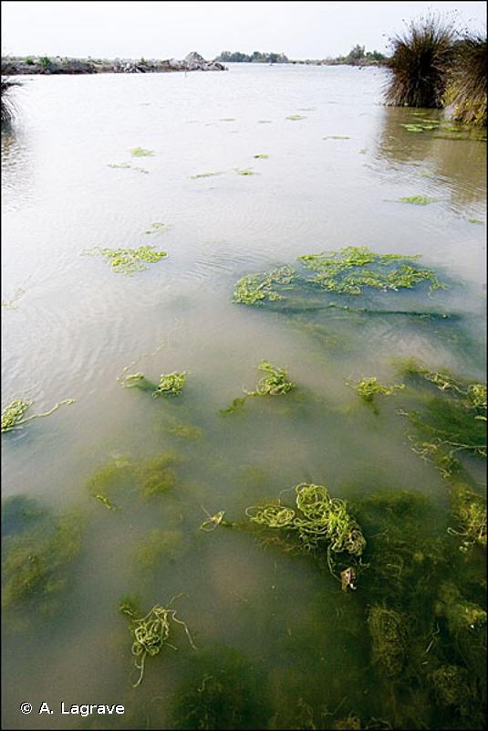 3150-2 - Plans d'eau eutrophes avec dominance de macrophytes libres submergés - Cahiers d'habitats