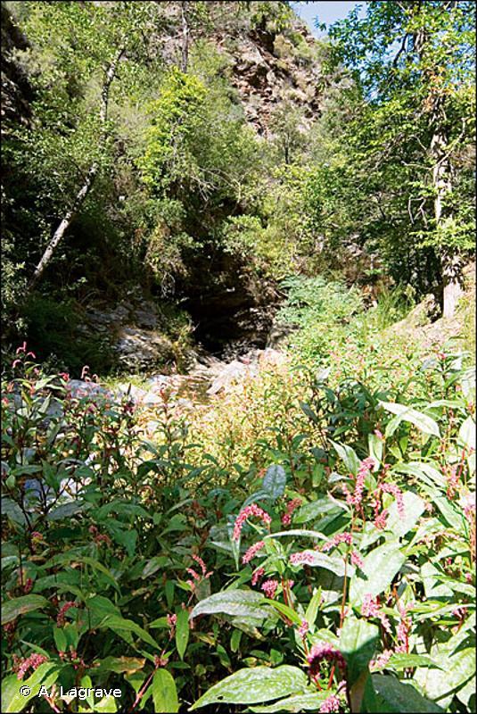 3270 - Rivières avec berges vaseuses avec végétation du <em>Chenopodion rubri p.p.</em> et du <em>Bidention p.p.</em> - Habitats d'intérêt communautaire