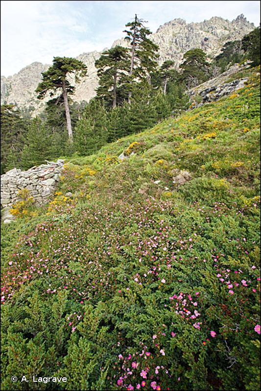 4090-7 - Fruticées supraméditerranéennes de Corse - Cahiers d'habitats