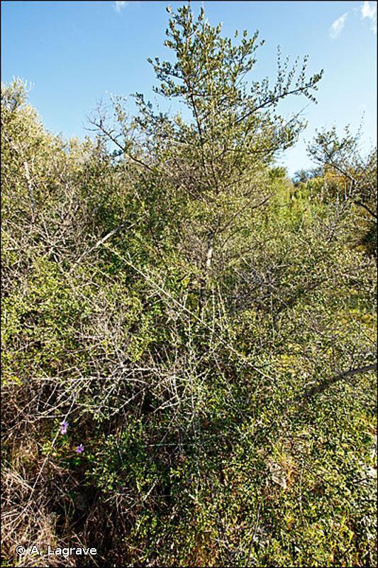 32.121 - Matorral arborescent à Olivier sauvage - CORINE biotopes