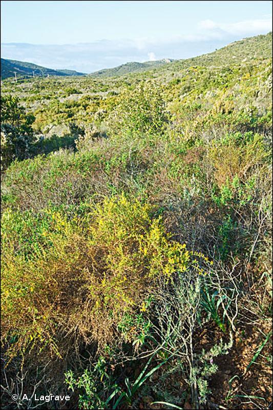 32.482 - Garrigues à Genista corsica - CORINE biotopes