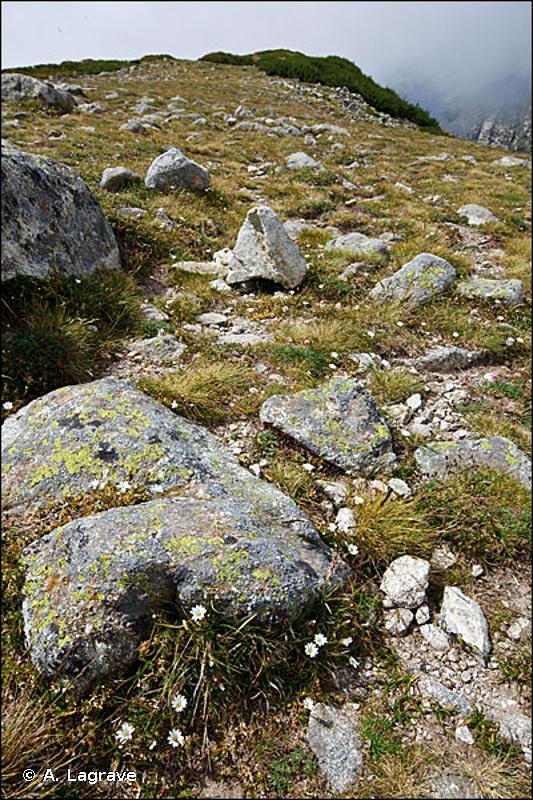 E4.37 - Pelouses des montagnes corses - EUNIS