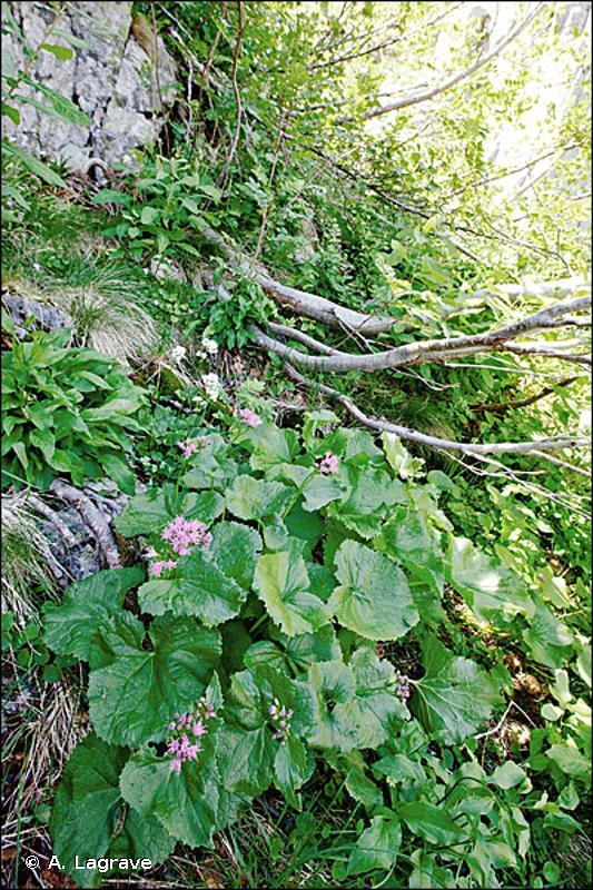 37.85 - Mégaphorbiaies corses à Cymbalaria - CORINE biotopes