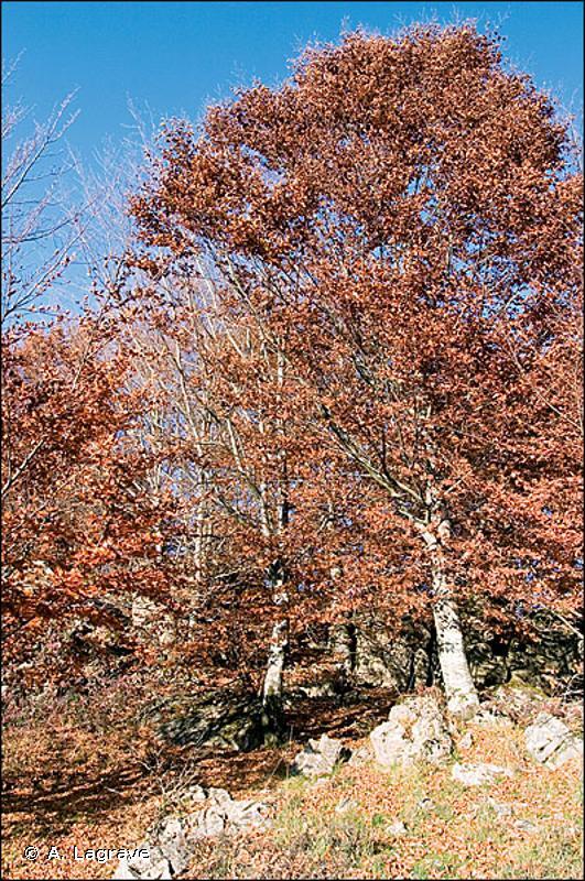 41.16 - Hêtraies sur calcaire - CORINE biotopes
