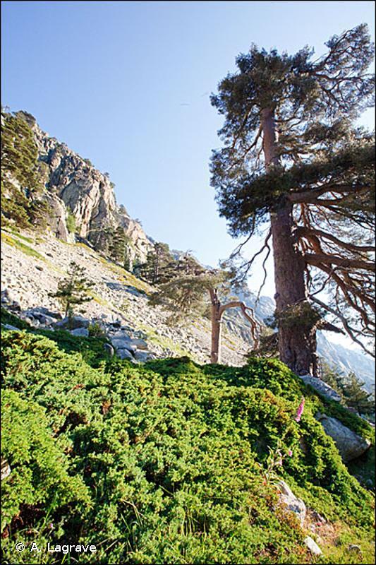9530-2.2 - Peuplements clairs d'adret de Pin laricio de Corse à Anthyllide faux hermannia - Cahiers d'habitats