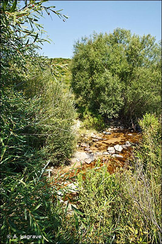 F9.122 - Fourrés ouest-méditerranéens à <em>Salix purpurea ssp. lambertiana</em> - EUNIS