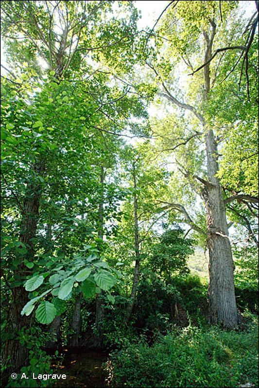44.61 - Forêts de Peupliers riveraines et méditerranéennes - CORINE biotopes