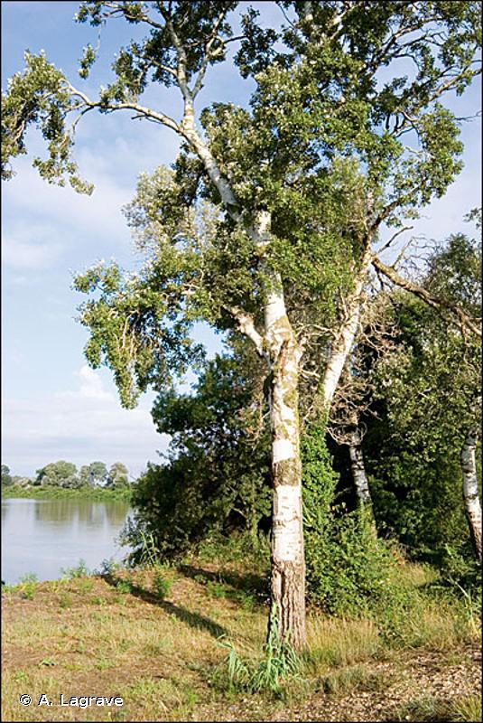 G1.312 - Forêts galeries provenço-languedociennes à Peupliers - EUNIS