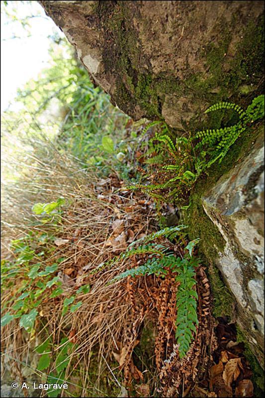 8210-18 - Falaises calcaires ombragées collinéennes à montagnardes, de la Bourgogne, du Jura, des Préalpes et des Pyrénées centrales - Cahiers d'habitats