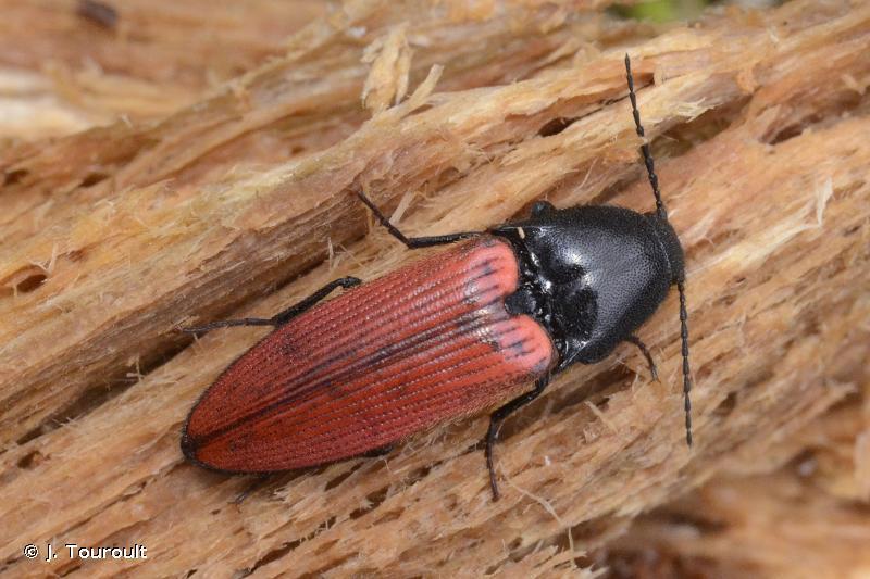 Ampedus sanguineus