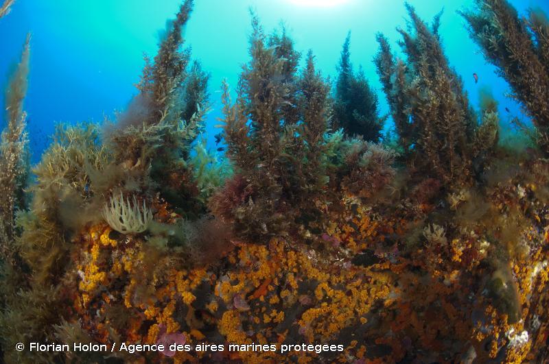 A4.265 - Association à <em>Sargassum</em> spp. - EUNIS