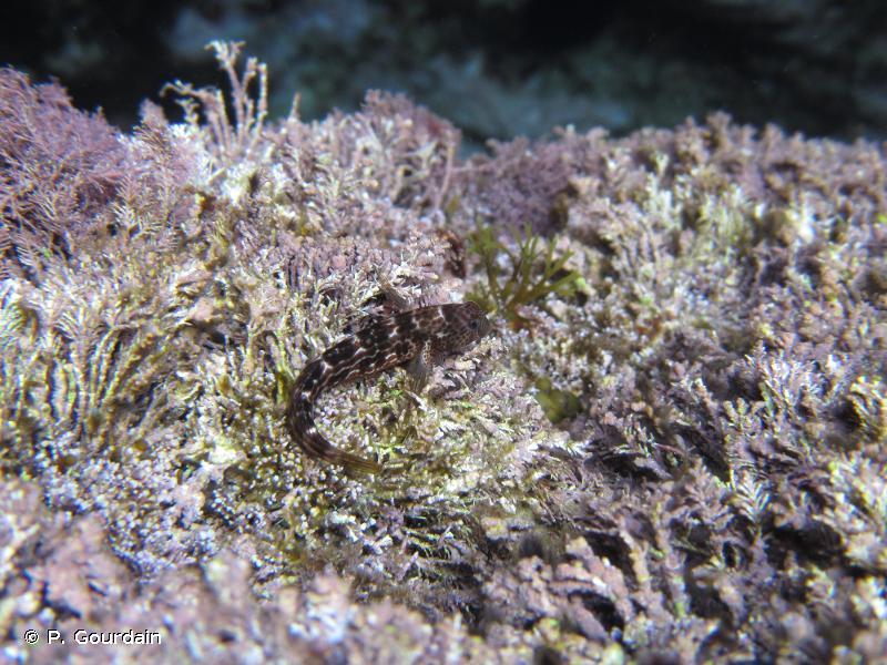 Microlipophrys canevae