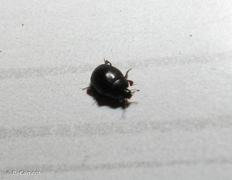 Dendrophilus pygmaeus