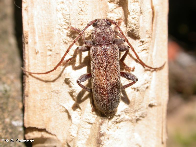 Trichoferus griseus