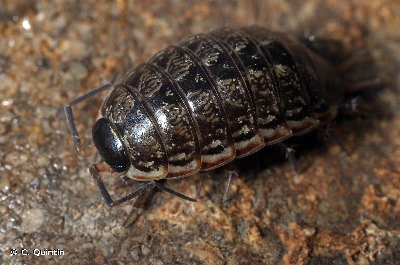 Philoscia muscorum