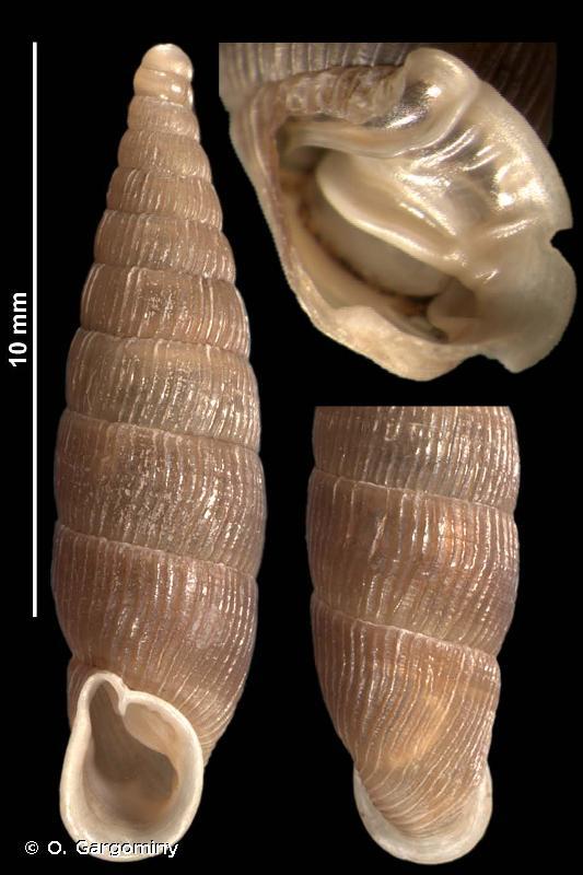 Macrogastra attenuata lineolata