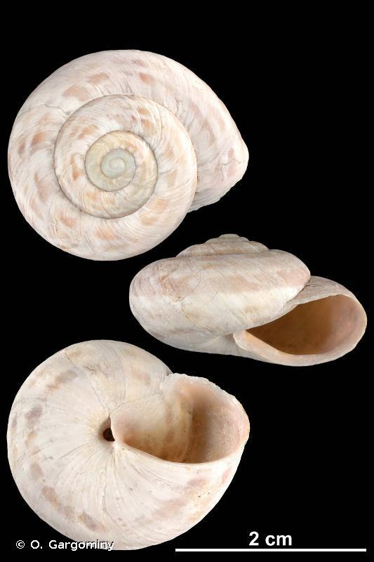 Macularia niciensis dupuyi