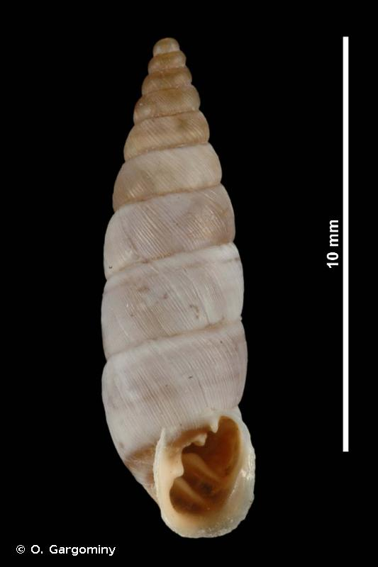 Solatopupa similis