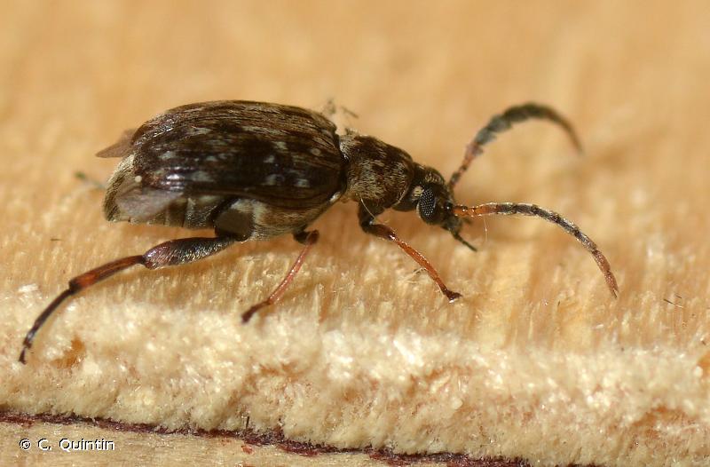 Bruchidius varius