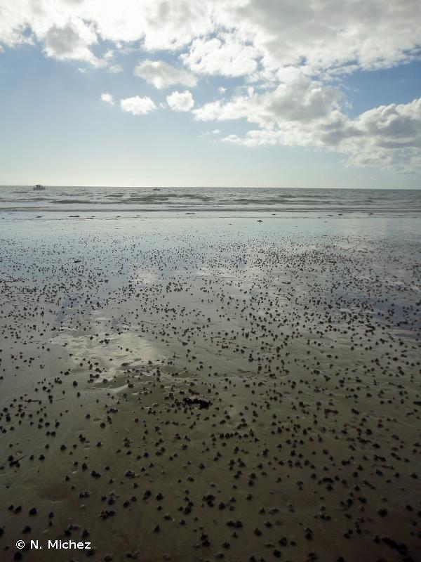 A2.241 - <em>Macoma balthica</em> et <em>Arenicola marina</em> sur les rivages de sable vaseux - EUNIS