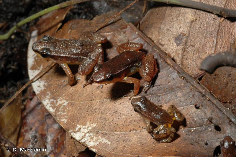 Anomaloglossus baeobatrachus