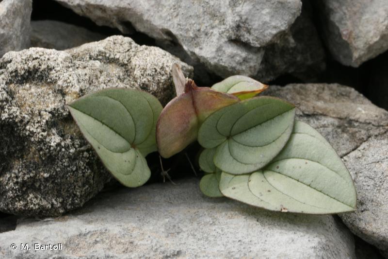 Dioscorea pyrenaica