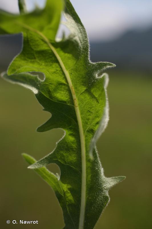 Crepis nicaeensis