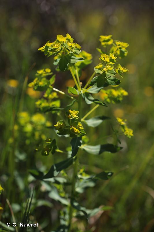 Euphorbia hirsuta
