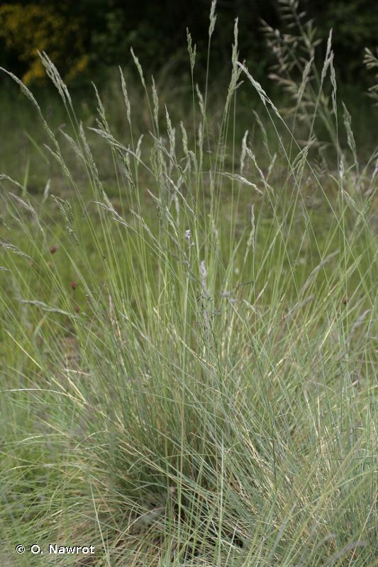 Festuca ovina subsp. guestfalica