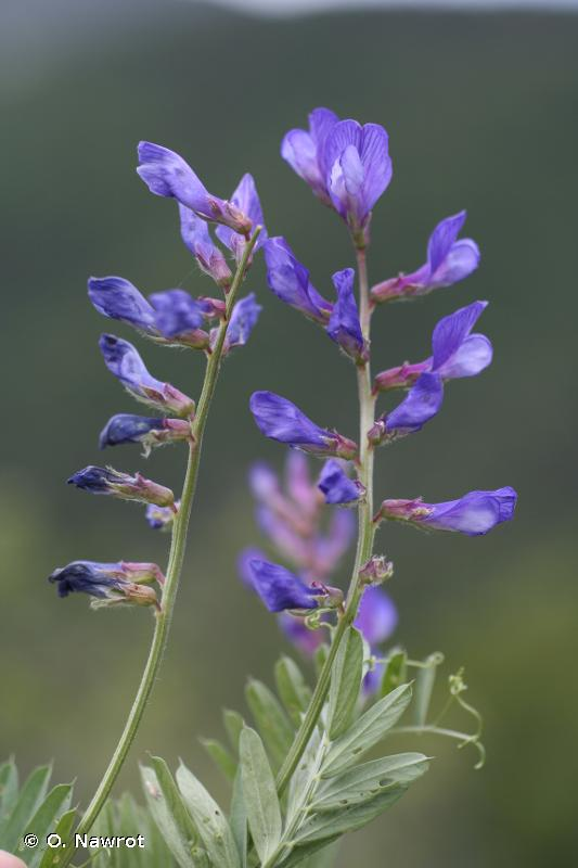 Vicia onobrychioides