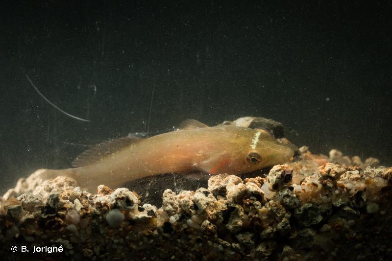 Lepadogaster candolii