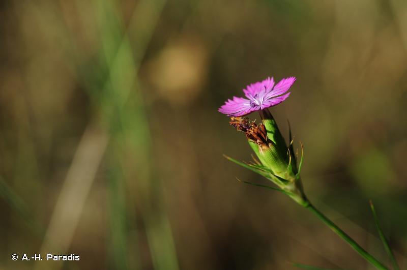 Dianthus balbisii