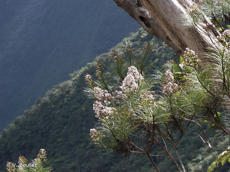 Parafaujasia fontinalis