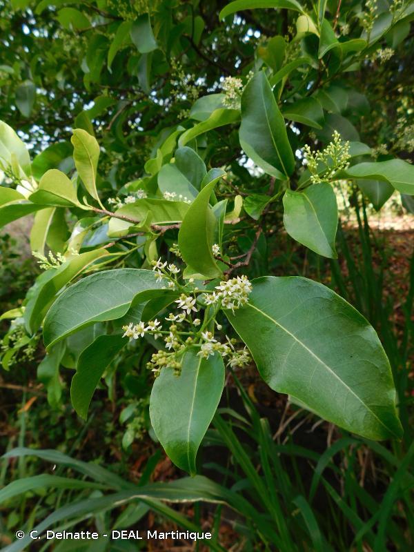 Zanthoxylum monophyllum