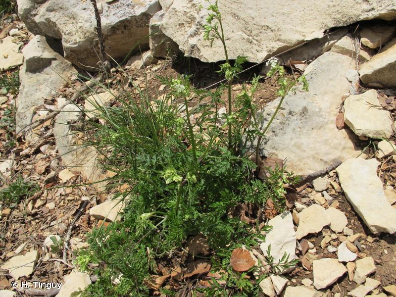 Anthriscus sylvestris subsp. alpina