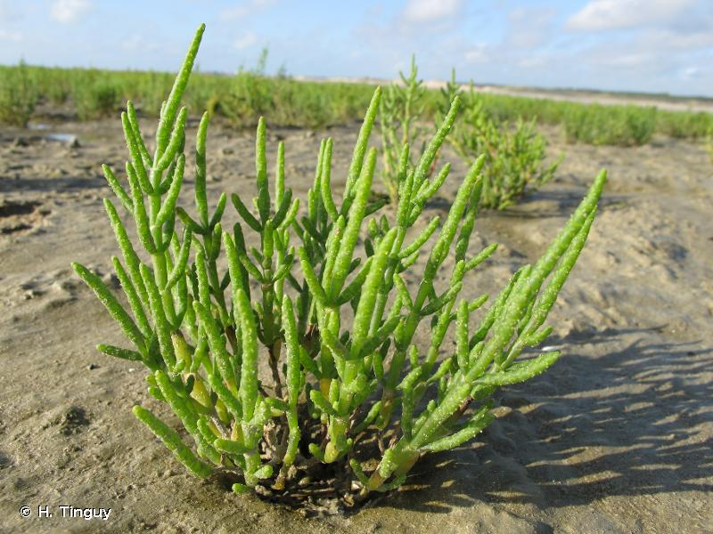 Salicornia procumbens subsp. procumbens