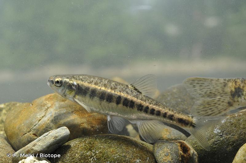 Phoxinus bigerri