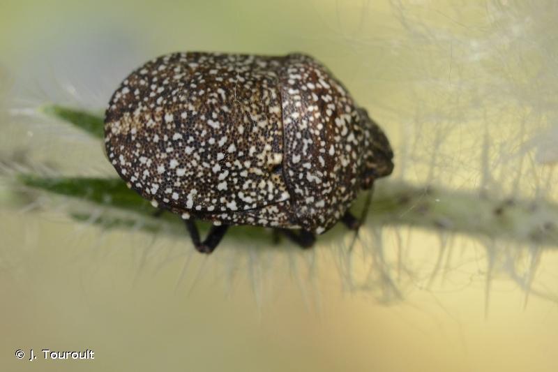 Psacasta exanthematica