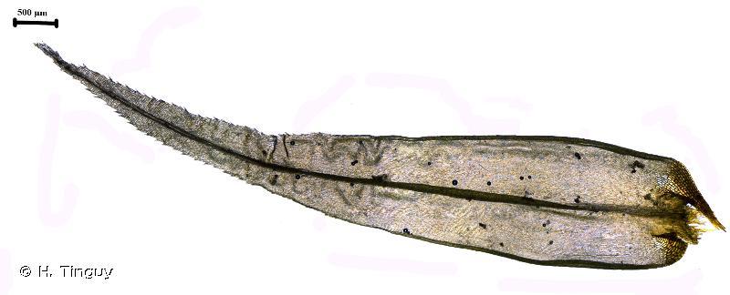 Dicranum polysetum