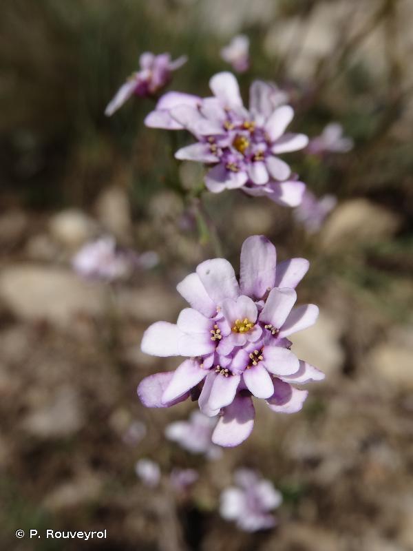Iberis linifolia