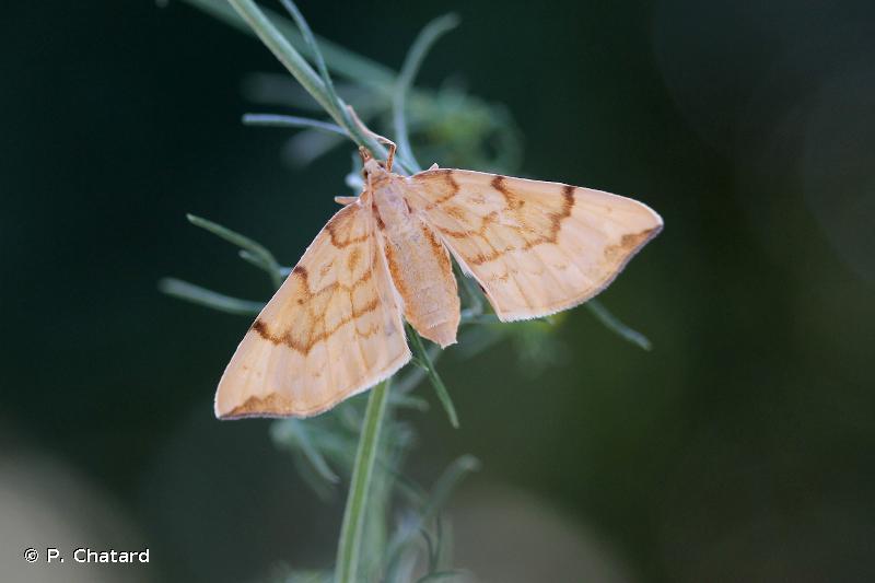 Gandaritis pyraliata