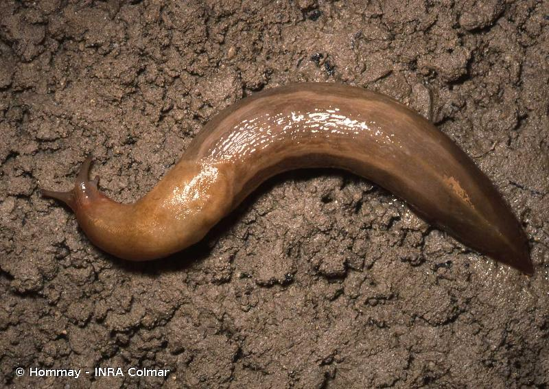 Limax corsicus