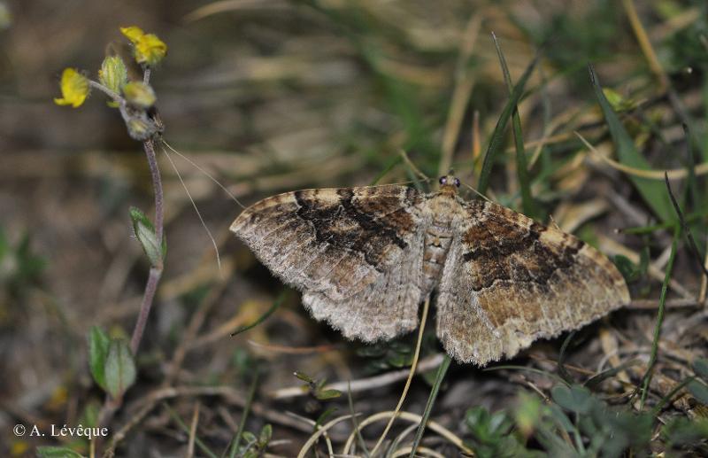 Rheumaptera cervinalis