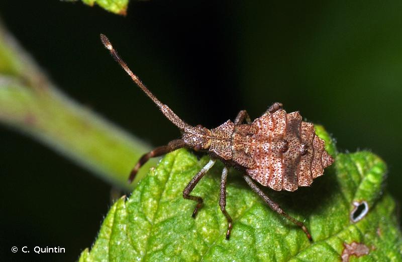 Coreus marginatus