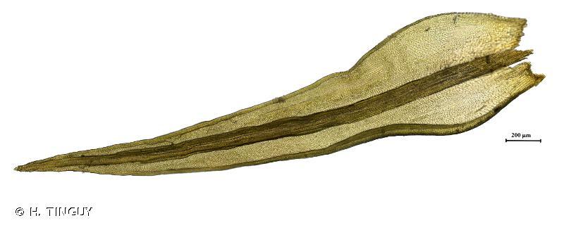 Grimmia ramondii