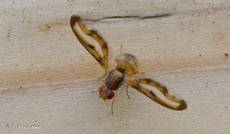 Toxoneura muliebris