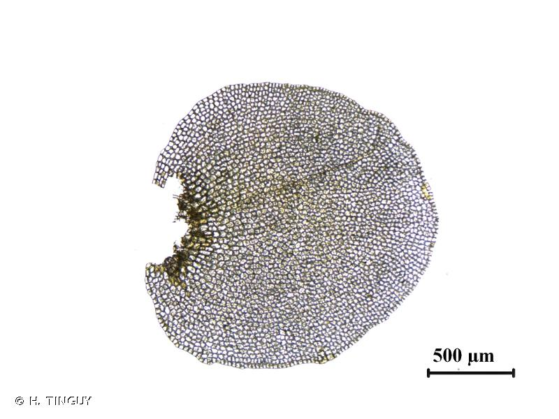 Solenostoma sphaerocarpum