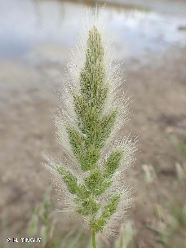 Polypogon maritimus