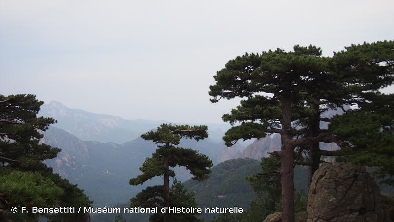 G3.5 - Pinèdes à <em>Pinus nigra</em> - EUNIS